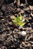rising-ground-elder-1446183-s
