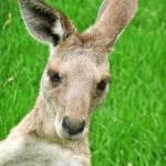 Czy każdy kangur to na pewno kangur?